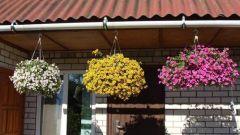 Особенности выращивания калибрахоа на своей террасе