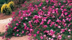 Почвопокровные розы: достоинства и слабости