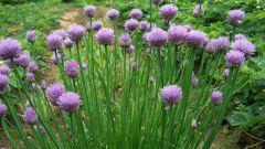 Аллиум: выращиваем декоративный лук на дачном участке