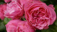 Розы: 7 красивейших сортов, устойчивых к мучнистой росе