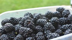 Ежевика садовая: основные и новые сорта