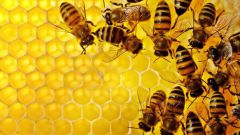 Породы пчел и их описание