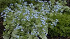 Секреты успешного выращивания бруннеры в саду: посадка и уход