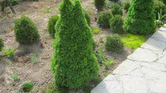 Канадская ель коника: особенности посадки и ухода