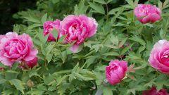 Древовидный пион: особенности ухода за цветком императора