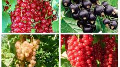 Описания самых лучших сортов смородины для выращивания