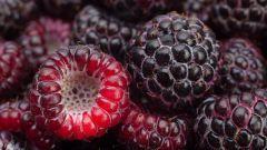 Черная малина Кумберленд: достоинства и недостатки сорта