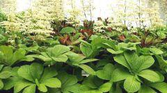 Роджерсия: особенности выращивания экзотического растения