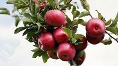 Описание колоновидных сортов яблонь