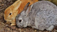 Миксоматоз у кроликов: причины, симптомы, лечение и профилактика