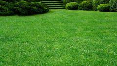 Особенности ухода за газоном из мятлика лугового