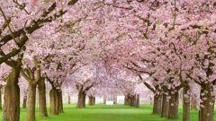 Лучшие советы по обрезке вишни весной для начинающих