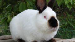 Калифорнийский кролик: разведение и содержание, уход и кормление
