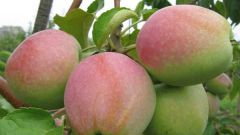 Яблоня «Северный синап»: описание сорта, агротехника выращивания