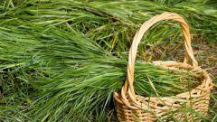 Трава зубровка: полезные свойства, противопоказания