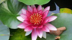 Нимфея (кувшинка): правила посадки и ухода за водяной лилией