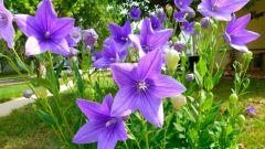 Секреты выращивания платикодона: посадка на рассаду и уход в открытом грунте