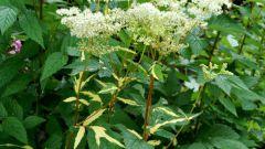 Лабазник: виды, сорта, выращивание и применение