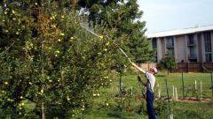 Когда опрыскивать смородину и яблони от болезней и вредителей?