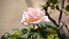 Чем подкормить розы после посадки