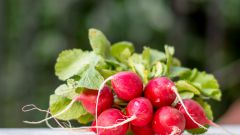 Как вырастить сочный редис