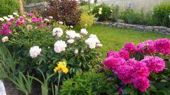 Где высаживать куст пиона в саду
