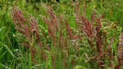 Овсяница красная: уход и выращивание газонной травы