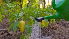 Как поливать перец в пору плодоношения