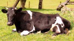 Кетоз у коров: симптомы, лечение и профилактика