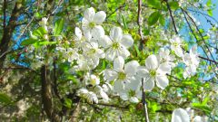 Когда цветет вишня?