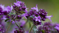 Трава чабрец: лечебные свойства и противопоказания