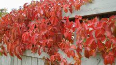 Лучшие советы по уходу за листопадной лианой