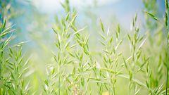Злаки для деревенского сада: выбираем по росту