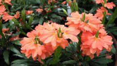 Кроссандра: как ухаживать за цветком в домашних условиях
