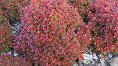 Барбарис: посадка и уход в саду, выращивание и размножение