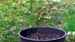 Как вырастить садовую ежевику из черенка