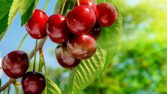 Вишня: сорта, уход и выращивание в саду, обрезка и подкормка вишни