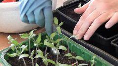 Пикировка томатов по 2 ростка в 1 стаканчик: за и против