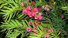 Тис ягодный: полезные свойства