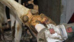 Почему важно обрезать копыта коровам?