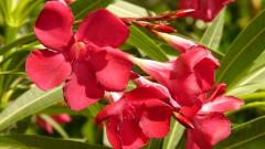 Можно ли высаживать азалию в открытый грунт