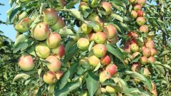 Колоновидная яблоня «Васюган»: описание сорта, посадка и уход