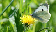Чем обработать капусту от бабочек