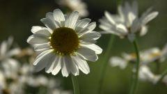 Как белый цветок ромашки стал символом доброты и милосердия