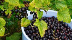 Как правильно и когда собирать урожай черной смородины