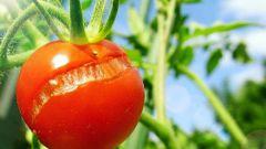 Почему растрескиваются помидоры