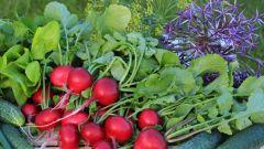 Можно ли сеять в августе редис