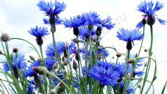 Васильки (цветы): описание, полезные свойства