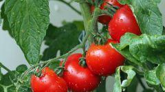 Чем подкормить помидоры в августе в теплице