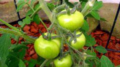 Почему помидоры не краснеют в теплице